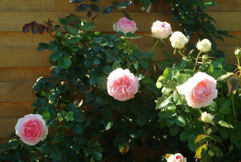 Le moment de la taille des rosiers est venu - A quel moment tailler les rosiers ...